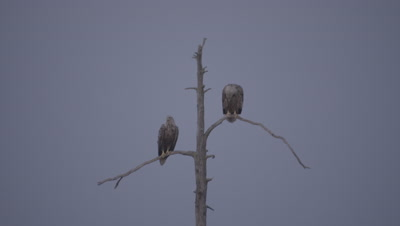 White-tailed Eagles perched at the top of a tree