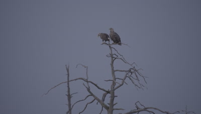 White-tailed Eagles perched at the top of a tree; one eagle flies to a separate branch