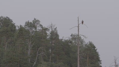Camera tilts down from White-tailed Eagle perched on a treetop to a Brown Bear feeding on a carcass as a Gull hovers nearby