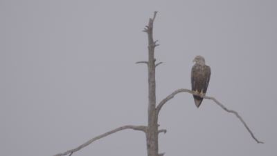 White-tailed Eagle perched at the top of a tree