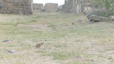 Prairie Dog feeds on grass near old stone structures