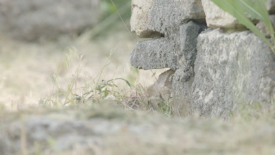 Prairie Dog emerges from safety of rock structure and surveys it's suroundings for danger