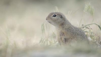Prairie Dog stands alert listening for danger, then crawls out of frame