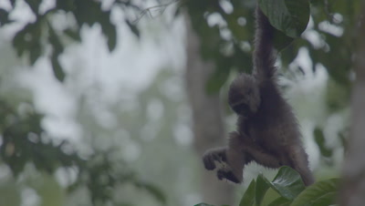 Bornean Gibbon Juvenile hangs in tree by one arm, feeding
