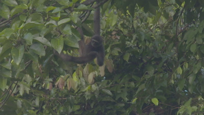 Bornean Gibbon Juvenile hanging upside down in tree, brachiates out of frame