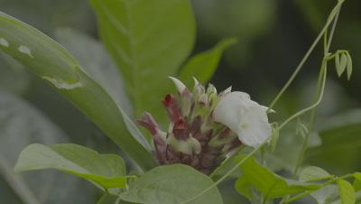 Strangler Fig Flowers