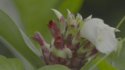 Strangler Tree Flowers