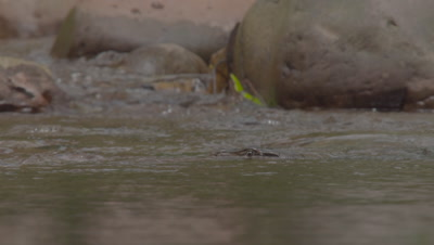 Water Monitor Lizard camouflaged in stream; eyes appear above water, watching dragonflies & butterflies