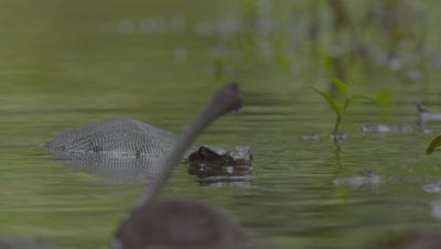 Water Monitor Lizard swimming underwater