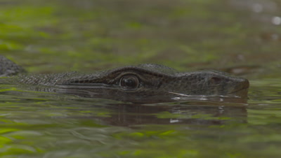 Close up on the face and eye of a Water Monitor Lizard visible just above water's surface