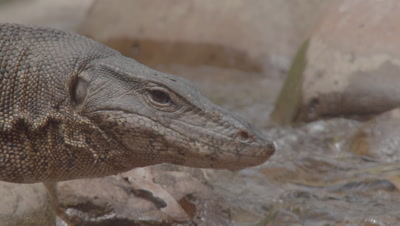Large wild Water Monitor Lizard moving over rocks on a riverbank, tongue flicking, hunting; wades through water