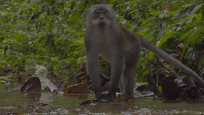 Crab-eating Macaque and Water Monitor Lizard foraging in water of a stream