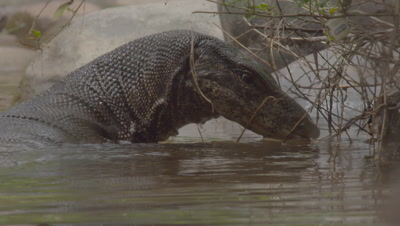 Water Monitor Lizard hunting along the a riverbank catches a fish and eats it (nice shot)