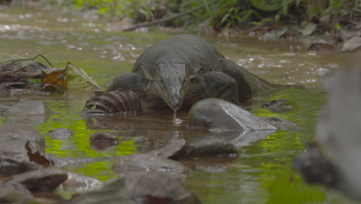 Crab-eating Macaque and Water Monitor Lizard foraging in water of a stream; camera racks focus from Lizard to Macaque