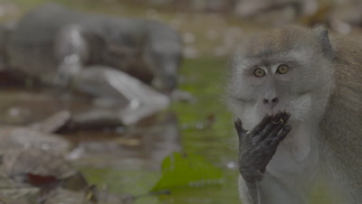 Crab-eating Macaque and Water Monitor Lizard foraging in water of a stream; camera racks focus from Macaque to Lizard