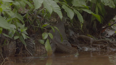 Water Monitor Lizard climbing out of water and up riverbank; close up of tail disappearing into the vegetation