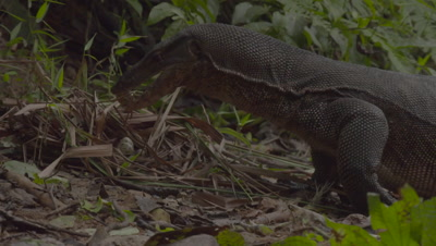 Water Monitor Lizard approaching bird's nest and eating eggs