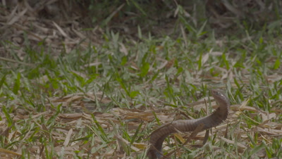 Juvenile Javan Spitting Cobra reared up in defensive position, poised to spit