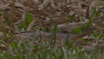 Juvenile Javan Spitting Cobra slithers through the grass at the Bali Reptile Park