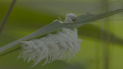 White fuzzy Caterpillar feeding on a leaf