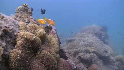 Orange Skunk Clownfish swimming in a soft coral