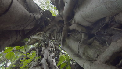 Low angle view of the inside structure of a Strangler Fig growing around a dead host tree
