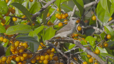 Yellow-Vented Bulbul foraging in fruiting tree