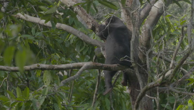 Sun Bear sitting in the crook of a tree, legs dangling over the sides of the branches