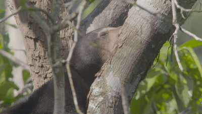 Sun Bear sitting in the crook of a tree, eyes closed, panting heavily