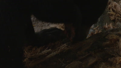 Sun Bear ripping up a rotten log in search of food, walks out of frame