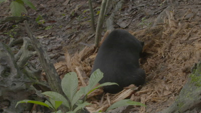 Camera pans from forest Rat on uprooted ironwood tree to Sun Bear ripping up a rotten log in search of food