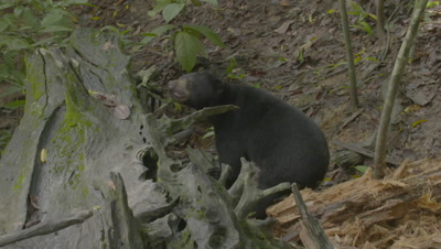 Sun Bear foraging in the forest, smelling the air