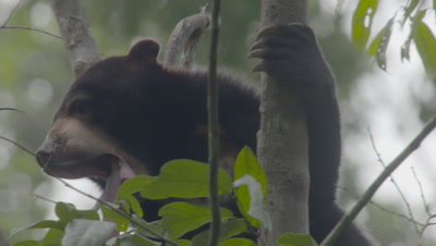 Sun Bear sitting, maneouvering around in the crook of a tree yawns; long tongue and chest patch are visible