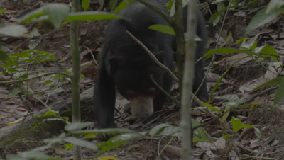 Sun Bear foraging in the forest, treated wound visible on it's back