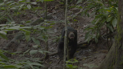 Sun Bear walking through the forest, treated wound visible on it's back
