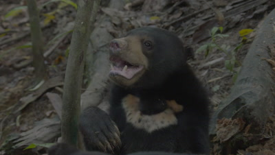 Two Sun Bears, possibly mother and cub, foraging through a rotten log; treated wound visible on larger bear's back