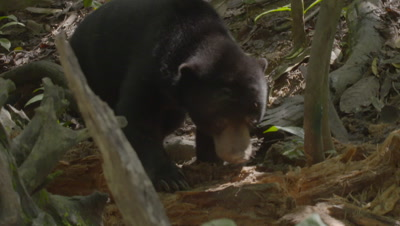 Three Sun Bears, two of which are possibly a mother and cub, foraging through a rotten log