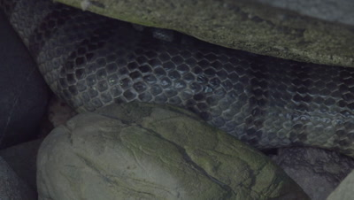 Yellow-Lipped Sea Krait mating ball hidden in the rocks