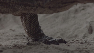 Close up on the feet and claws of a Water Monitor walking on a sandy beach
