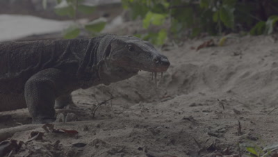Water Monitor walks up to Sea Turtle nest, saliva hanging from mouth