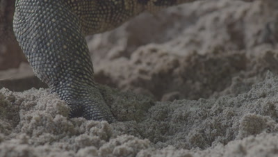 Close up on the foot of a Water Monitor as it digs through the sand, flicking it's tongue