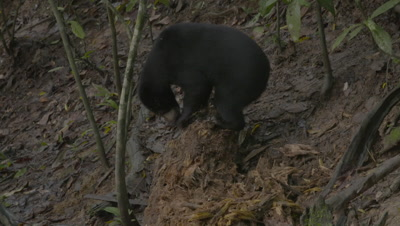 Sun Bear ripping up a rotten log in search of food