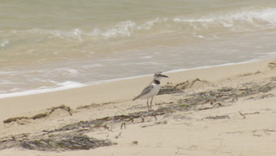 Wilson's Plover standing near the edge of the water on a beach