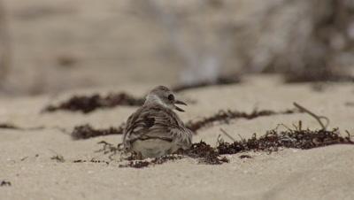 Wilson's Plover cooling eggs on beach