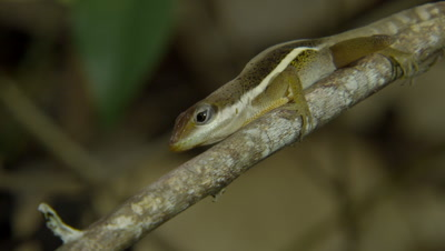 Grass Anole on tree branch