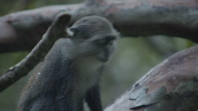 Sykes' Monkey (Blue Monkey) curious about camera