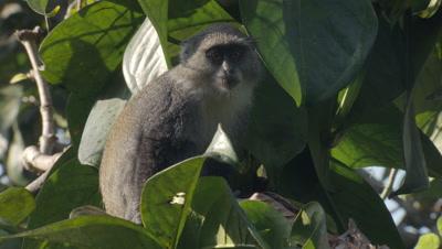 Sykes' Monkey (Blue Monkey) sitting in tree