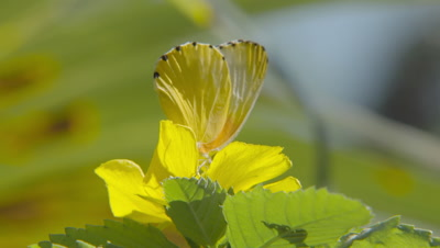 Common Dotted Border butterfly feeding from flower