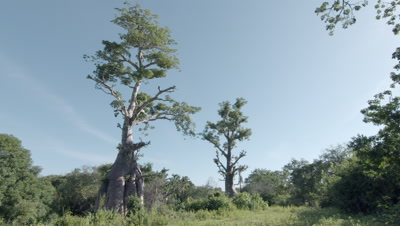 Baobab Tree with thick roots