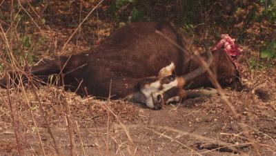 Dead Sable Antelope carcass lying on the savanna